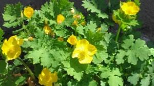 Celandine Poppy Yellow Flowers