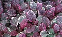 Ajuga Plant leaves, fast growing perennial attractive colourful ground cover