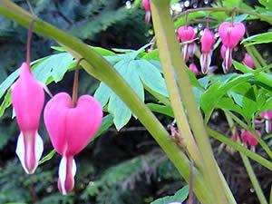 Bleeding Heart Flower for shade gardening. Dicentra spectabilis