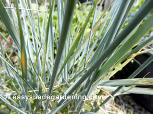 Blue Ornamental Grasses Perennial