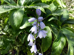 Pale Blue Bluebell Flowers