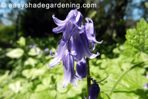 Bluebells Lilac Flowers