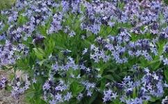 Blue Star Amsonia Dogbane Shade Plant Flowers - Bluestar Amsonia Dog Bane