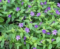 Browallia, flower shade gardening