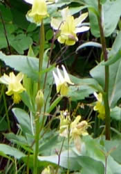 Columbine Flowers for Shade Areas in the Garden