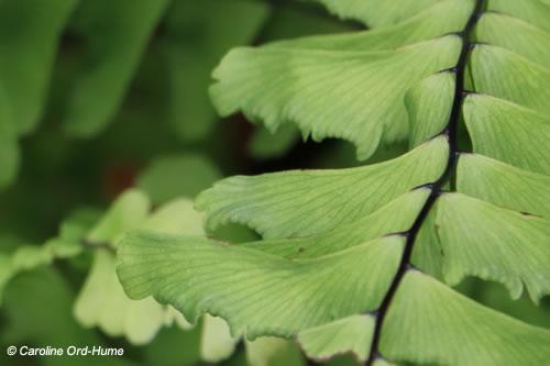 Adiantum pedatum L Fern Frond, Five Fingered Maidenhair Fern, American Maidenhair Fern, Northern Maidenhair Fern in shade gardens