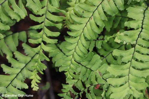 Five Fingered Maidenhair Fern - Adiantum pedatum L. in a shade garden