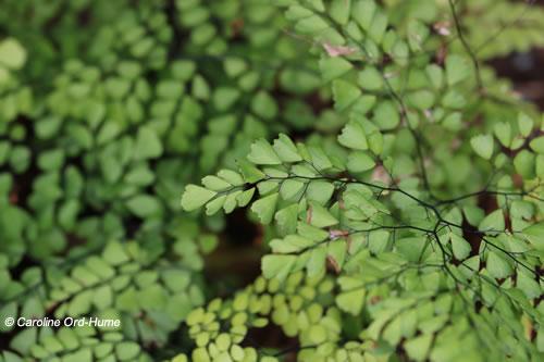 Evergreen Maidenhair Adiantum venustum fern fronds and stalks planted in garden shade