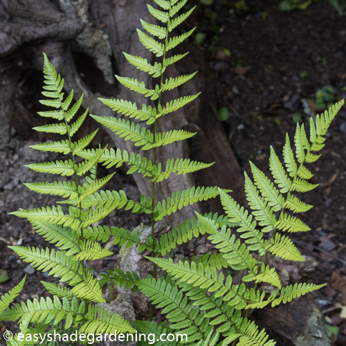 Prolific Copper Shield Fern Dryopteris erythrosora var. prolifica
