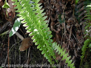 Fern Shade Plants
