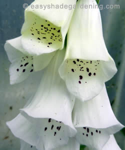 Foxglove plant growing in shade with white flowers