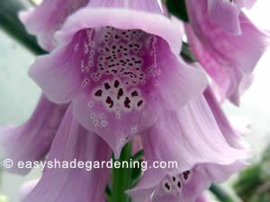 Purple Pink Foxglove Plant Flowers