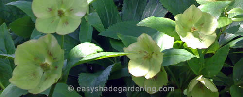 Hellebore - Yellow Lenten Rose for Shade