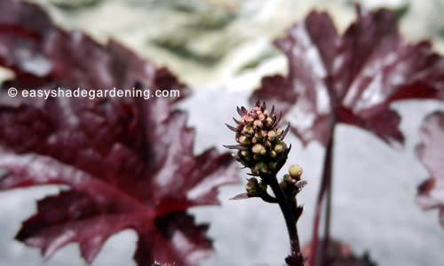 Heuchera Plants Flower Purple Leaves for Shade