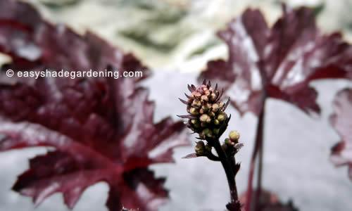 Heuchera Plants Flower Purple Leaves for Shade