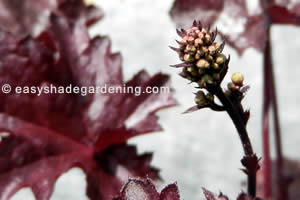 Coral Bells - Heuchera Perennial Flower Purple Leaves for Shade Garden