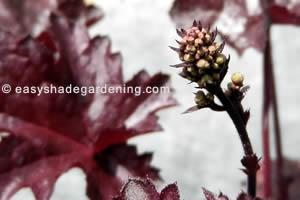Coral Bells - Heuchera Perennial Flower Purple Leaves for Shade Garden