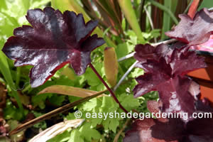Heuchera Plant Purple Leaves - Coral Bells