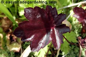 Heuchera Purple Leaf Perennial