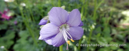 Jacob's Ladder Perennial Shade Plant with Blue Flowers