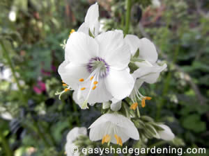 White Jacob's Ladder Flowers Perennial Shade Plant