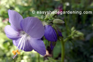 Jacobs Ladder Plant Blue Flower in Shade Garden