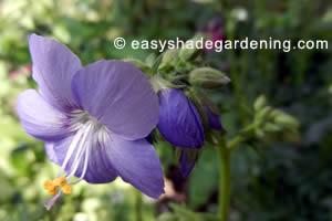 Jacobs Ladder Plant Blue Flower in Shade Garden