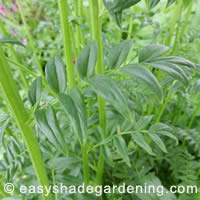 Jacob's Ladder Foliage - shade plant