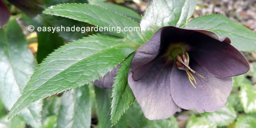 Lenten Rose Hellebore Flower for Shade