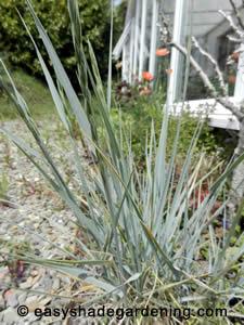 Ornamental Grasses Perennial