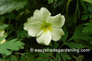 Primrose Shade Plants