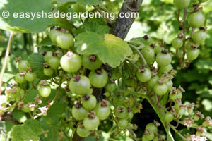 Green Redcurrants before they turn red and need protection from birds