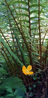 Poppy Flower in Perennial Shade Garden
