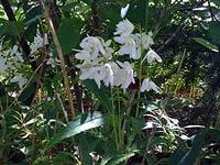 Perennial Shade Flowers
