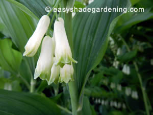 White Flowers on Shade Garden Plant