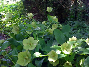 shade plants and flowers gardening ideas include - Shaded Flower Garden Ideas