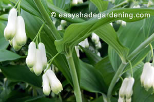Solomon's Seal Flowers in Shade of Leaves