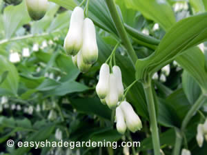 Solomon's Seal Flowering in Shade of Trees