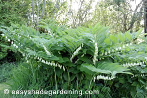 Large Solomon's Seal Plant growing in Shade with rows of white flowers