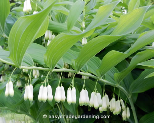 Solomon's Seal Flowers Hanging in a Line Under the Foliage
