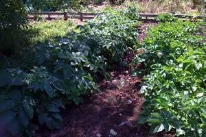 Organic Vegetables Plants