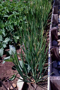 Organic Garden with Shallots and Vegetables