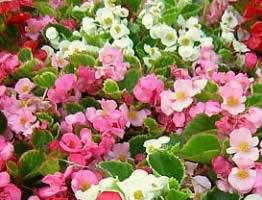 Wax Begonia greenhouse platte