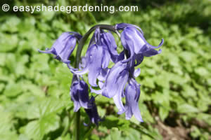 Bluebell Care in Ground Cover