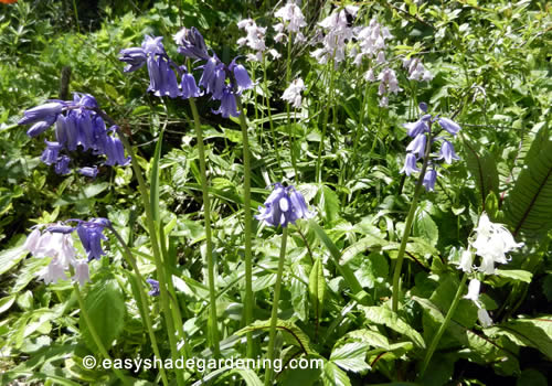 Mixed Colours of Bluebells, Blue, Pink, White, in a border of the garden