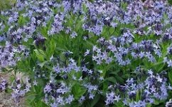 Blue Star Amsonia Dogbane Shade Plant Flowers - Bluestar Amsonia Dog Bane