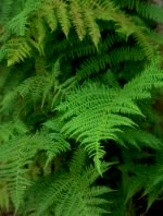 Ferns in Shade