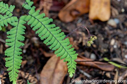 Aleutian maidenhair Fern Adiantum aleuticum, Pteridaceae
