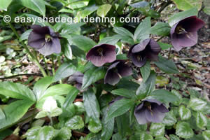 Dark Purple Lenten Rose Hellebore in Shade Garden
