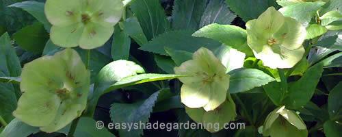 Hellebore - Yellow Lenten Rose for Shade